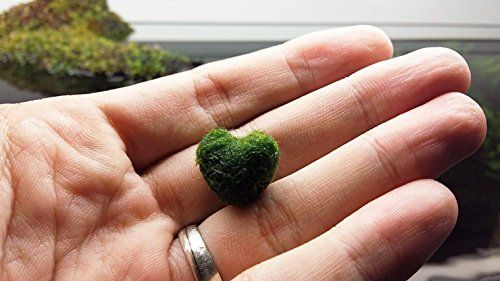 LUFFY Heart Marimo A rare gift for your loved ones MARI