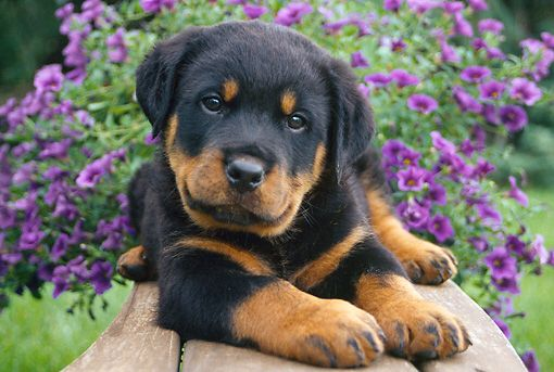 Pin By Bec On Pets Rottweiler Puppies Rottie Rottweiler Lovers