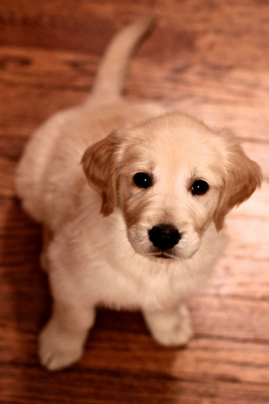 Golden Retriever Puppy 8 Weeks Old Golden Retriever