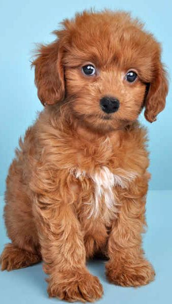 Doxiepoo Poodle Mix Breeds Poodle Mix Super Cute Dogs