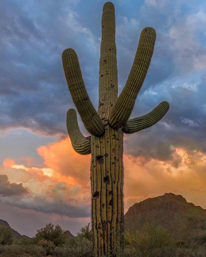 Pin By Linda Kellems On Arizona Arizona Landscape Saguaro