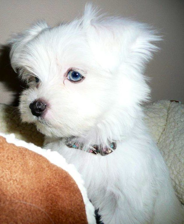 Can Maltese Dogs Have Blue Eyes
