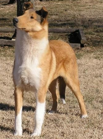 Smooth Collie Dog Photo Smooth Collie Breed Information History