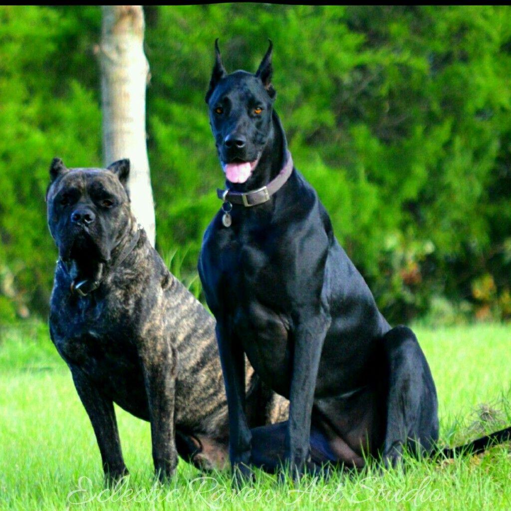 Cane Corso Crixus Doberdane Nyx Dog Hero Doberman Dogs