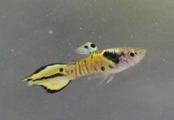Trio Tiger Endlers Guppy Guppies Live Freshwater Aquarium Fish
