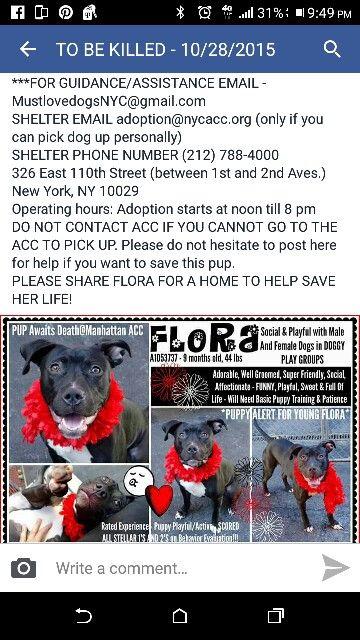 Flora Urgent Nyc Adopt Rescue Pet Dog Pitbull Pets