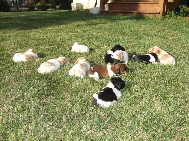 French Brittany Pups With Images French Brittany Pup Breeds