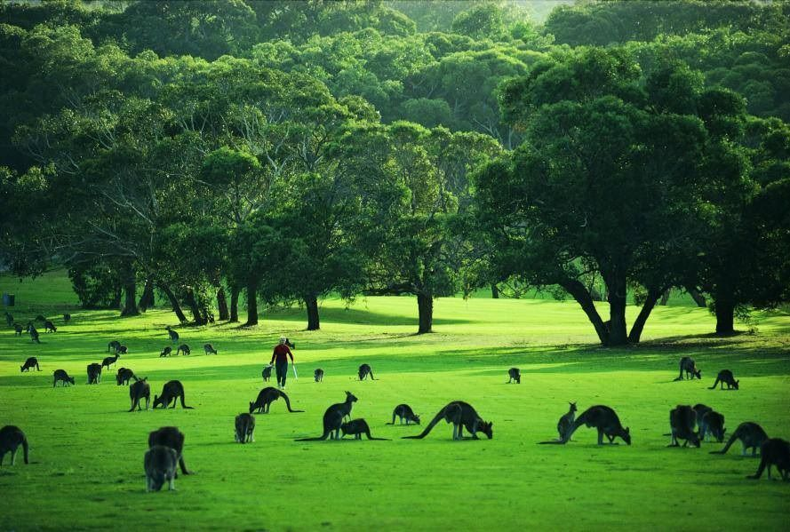 anglesea golf course australia kangaroos golf with. Black Bedroom Furniture Sets. Home Design Ideas