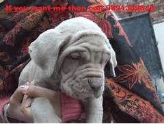 Mastiff Price In India Neapolitan Mastiff Italian Mastiff Puppy