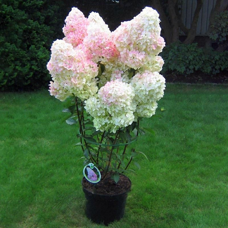 Egrow 20pcs Hydrangea Flower Seed Vanilla Strawberry Seeds For Outdoor Home Planting Bonsai In 2020 Strawberry Hydrangea Hydrangea Seeds Flower Seeds