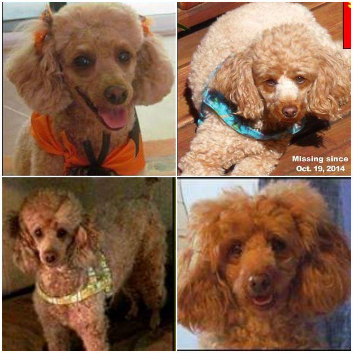 Lost Dog Poodle Miniature Palm Coast Fl United States