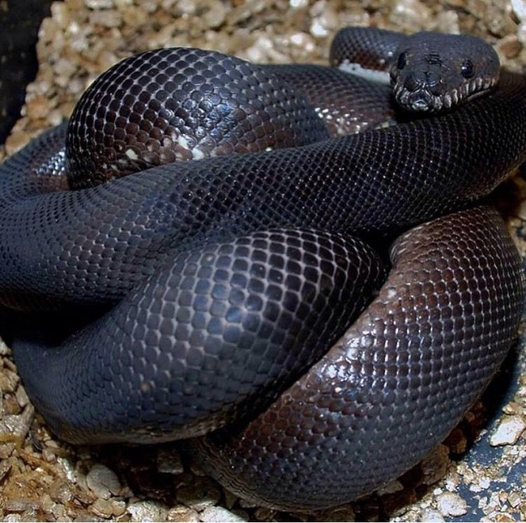 Carpet python complex morphs. Animals beautiful, Complex