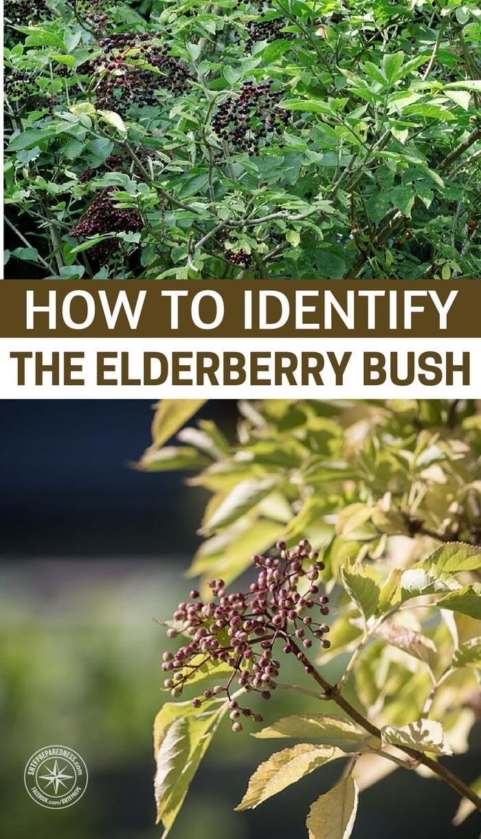 How To Identify The Elderberry Bush Elderberry Bush