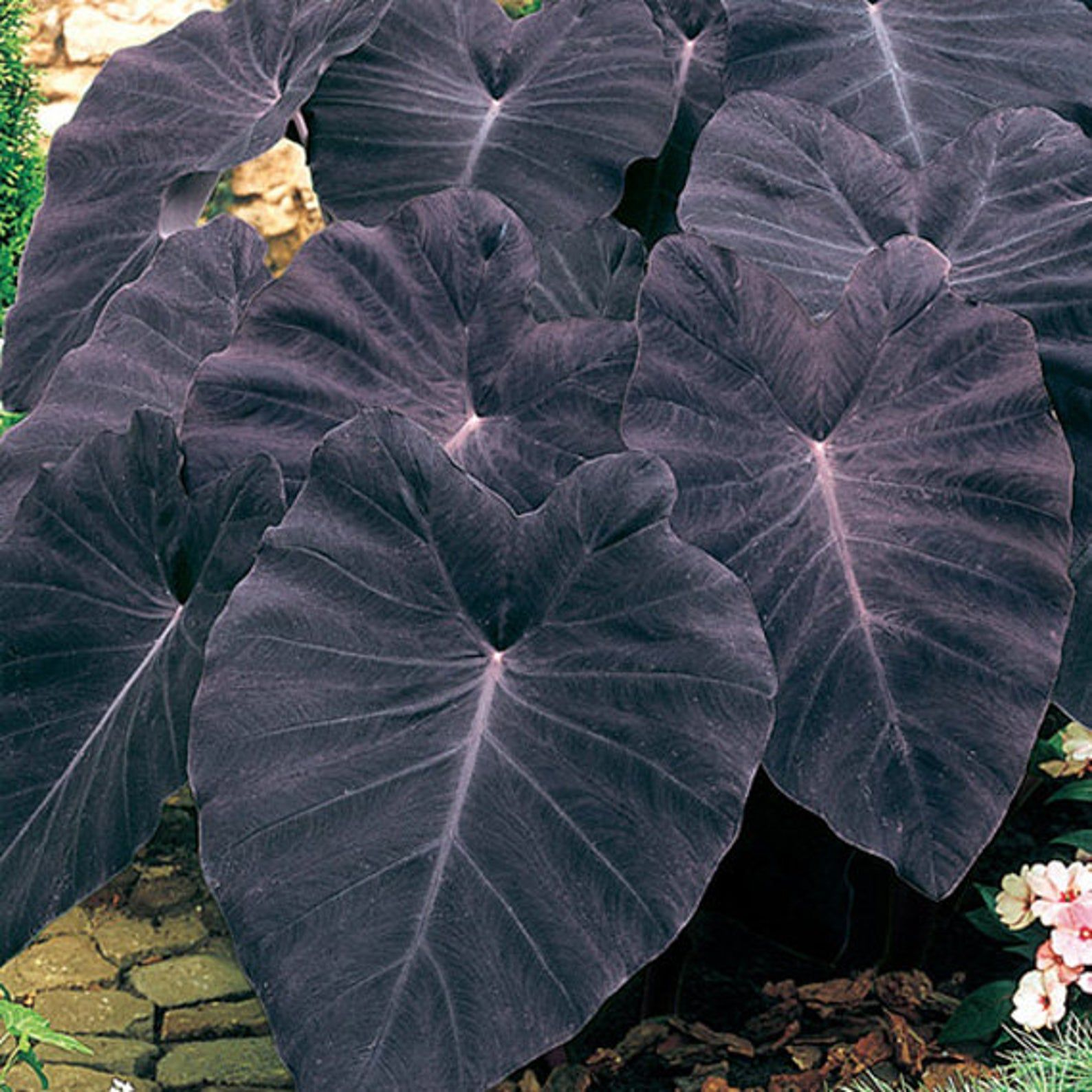 Black Magic Elephant Ears - in 4 inch Containers
