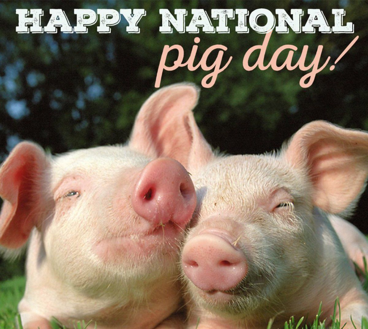 NationalPigDay hashtag on Twitter Pig farming, Pig