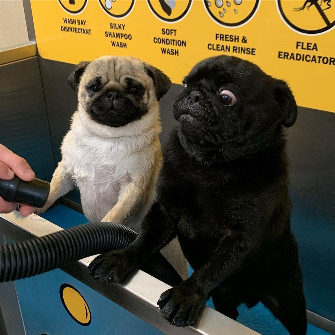 Pin By Kathy Weinsaft On Dog Stuff Pugs Funny