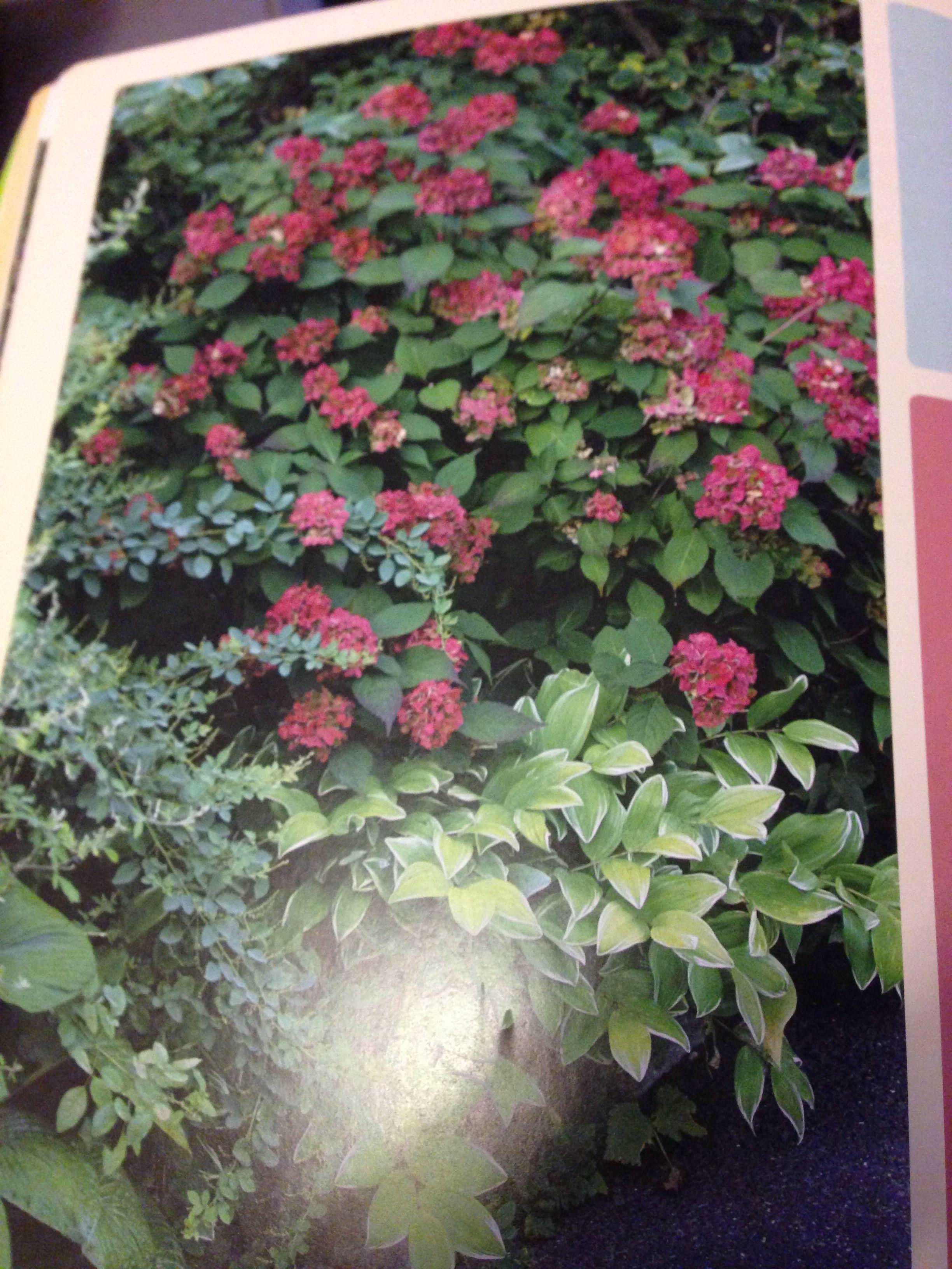 Hydrangea preziosa and polygons yum odaratum Variegatum. Next to azaleas in back yard