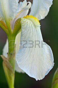 Stock Photo White Iris Iris Flowers Iris Flower Photos