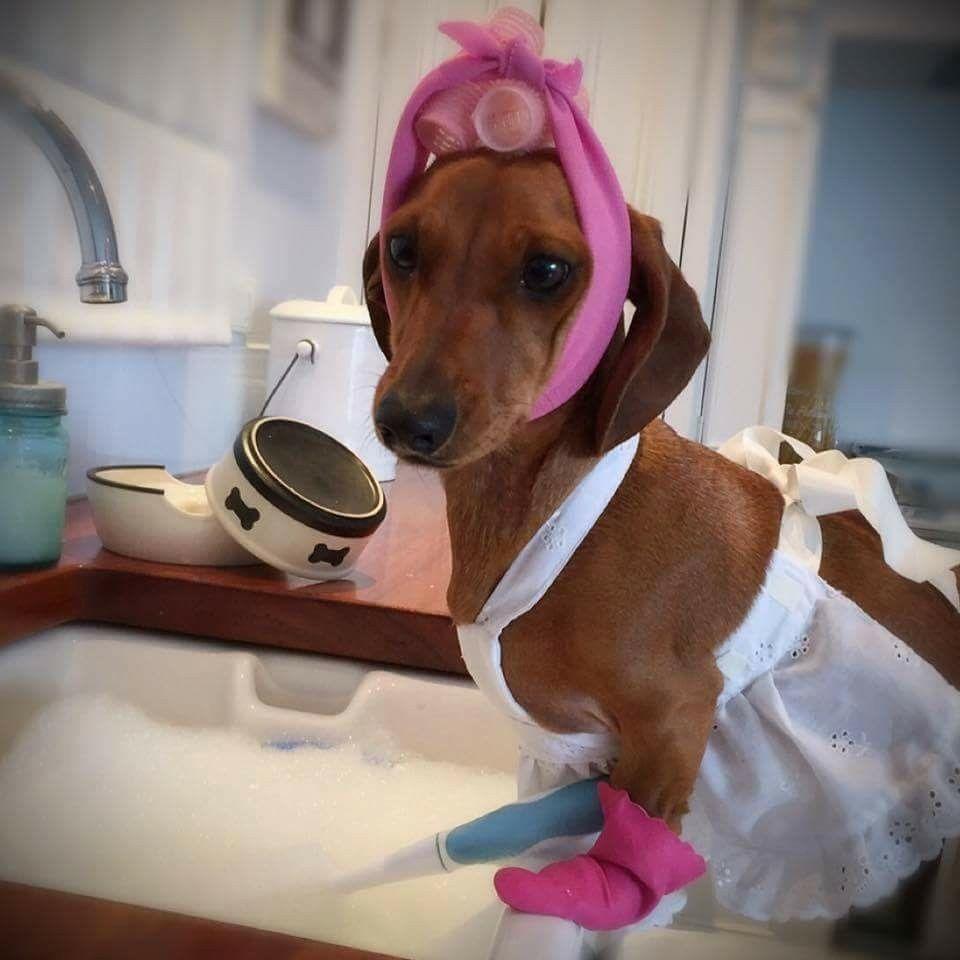 Diva doxie cuteness pinterest dachshund dogs and dachshund love