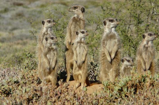 Meerkat Meerkat Meerkat Africa Tourism Oudtshoorn South Africa Travel