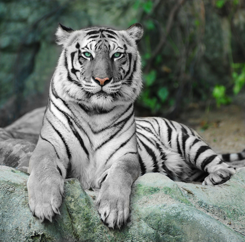 Majestic White Tiger Animals Beautiful Animals Big Cats