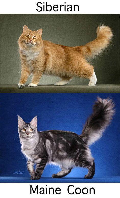 Skogkatt Or The Norwegian Forest Cat Is An Intelligent Cat That Can Even Open Doors Norwegian Forest Cat Siberian Cat Forest Cat