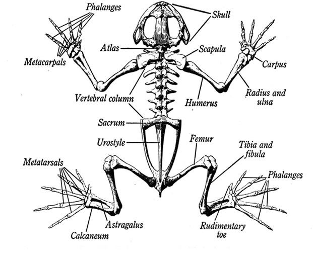A diagram of the skeleton of a frog Looking at how a