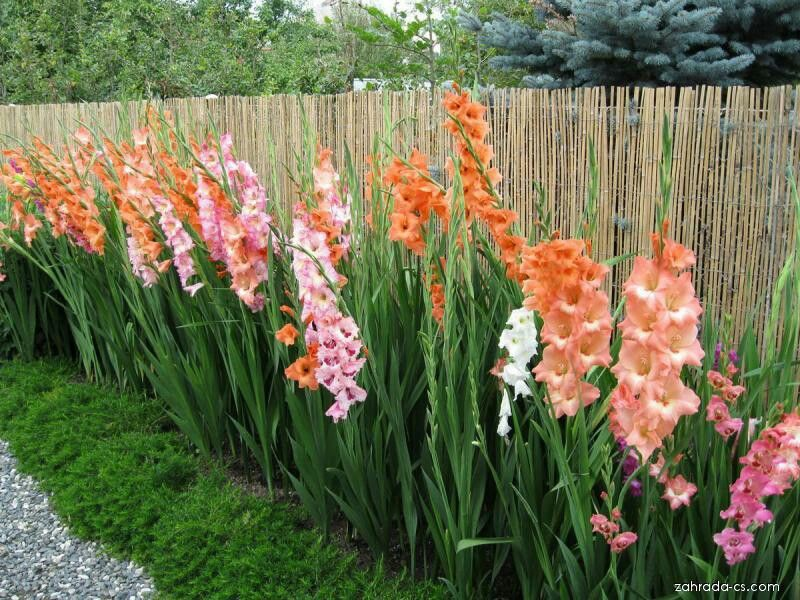 Pin By Flowers In Heart On Gladiolus Plants Gladiolus Flower Beds