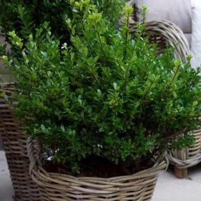 ilex houx cr nel 39 luxus globe 39 petit arbuste feuilles vertes et topiaire. Black Bedroom Furniture Sets. Home Design Ideas