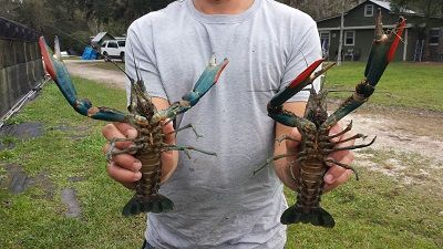 Live-Australian-red-claw-crayfish-for-sale | Hydropony