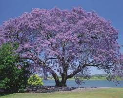 Trees In India Pictures With Names Google Search Jacaranda