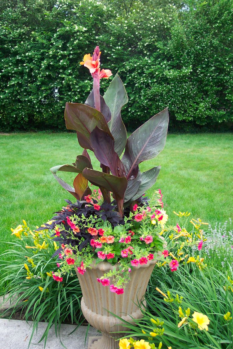 Canna Container Google Search Outdoor Ideas For The 400 x 300
