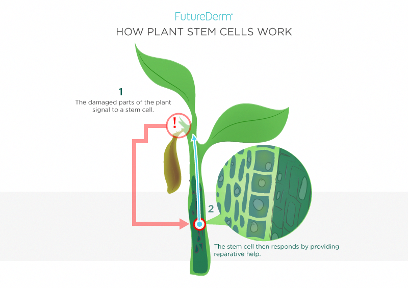 How Plant Stem Cells Work Cordblooddefinition Stem Cells Skin Skincare Ingredients Skin Care