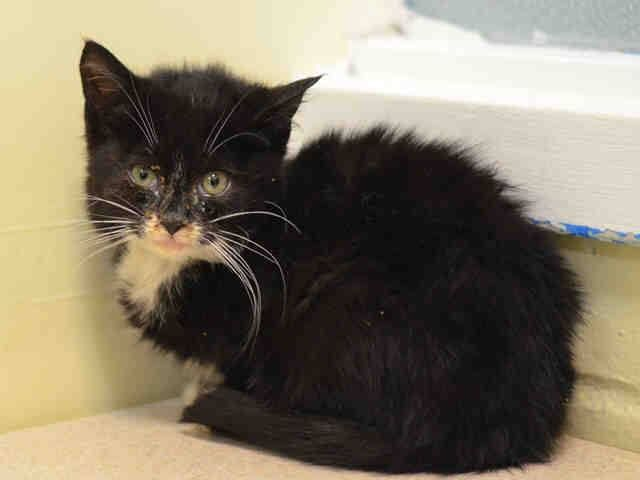 To Be Destroyed 12 1 14 Nyc Adorable 9 Week Old Kitten Brooklyn Center Kitten Was Somewhat Nervous But Allowed Handling D My Animal Animals Cat Adoption