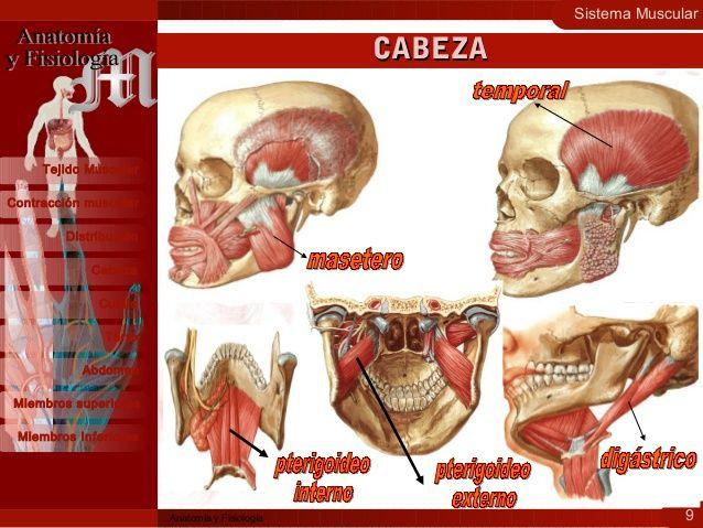Sistema Muscular 9 Contracción muscular Distribución Cabeza Cuello ...