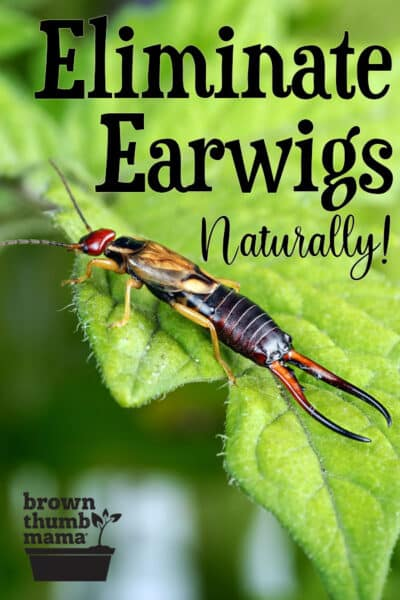 How To Get Rid Of Earwigs In The Vegetable Garden