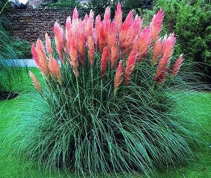 Cortaderia selloana 39 pink pampas grass 39 plant grasses for Ornamental grass with pink flowers