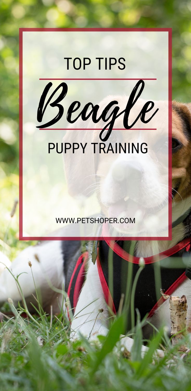 Beagle Puppy Training How To Train Beagle Dog 4 Tips Beagle