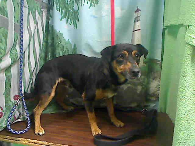 Id A440139 I Am Described As A Male Black And Tan Chihuahua