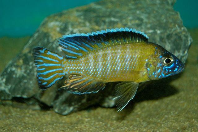 Aulonocara Stuartgranti Usisya Flavescent Peacock Cichlid Cichlids African Cichlids Tropical Freshwater Fish