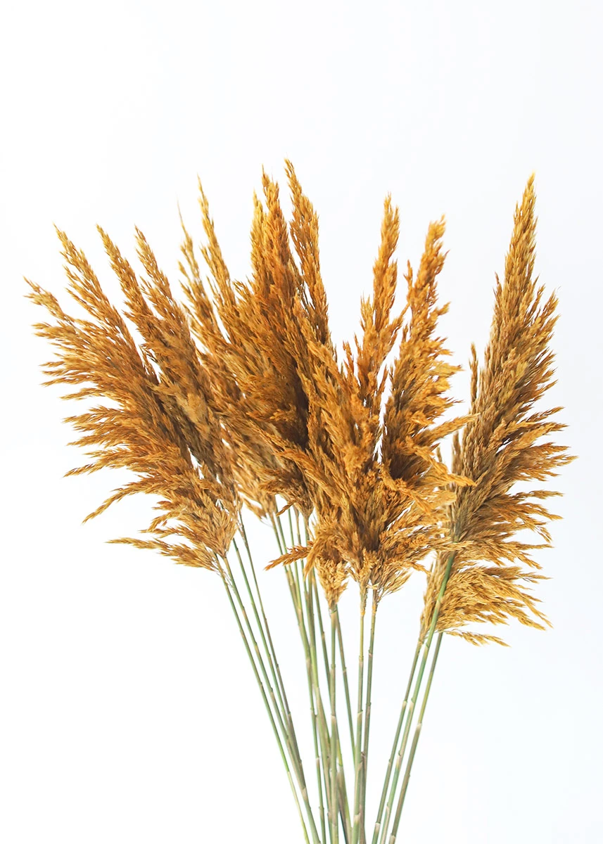 Dried Plume Reed Grass In Aspen Gold 36 40 Dried Flower Arrangements Dried Flowers Flower Vase Arrangements