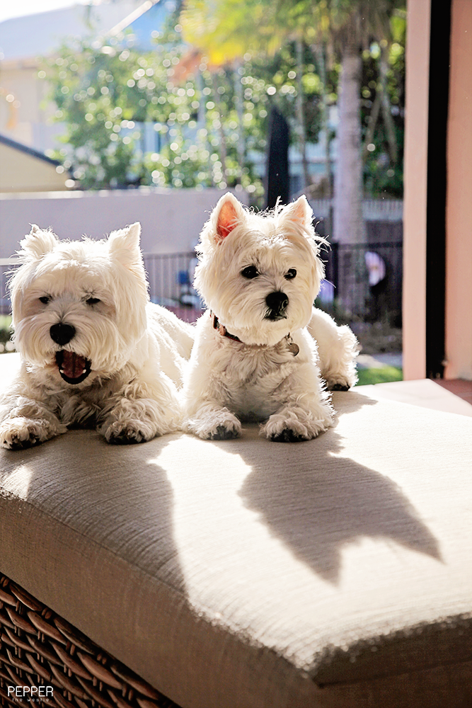 If I M Batman Does That Make Pepper The Westie Robin You Can Also Follow Pe Westie Terrier Cute Dogs Cutest Dog Ever