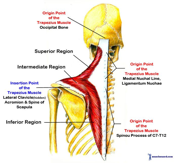 trapezius+muscle+origin+insertion+and+action | Trapezius Muscle ...