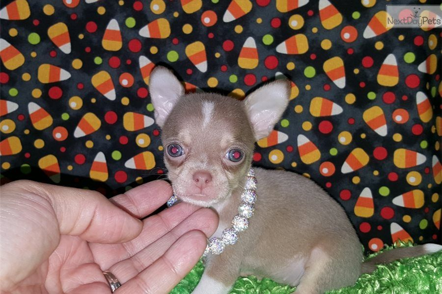 Tiny Babies Is A Female Chihuahua Puppy For Sale Near Mcallen