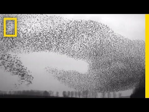 National Geographic Flight Of The Starlings Watch This Eerie But