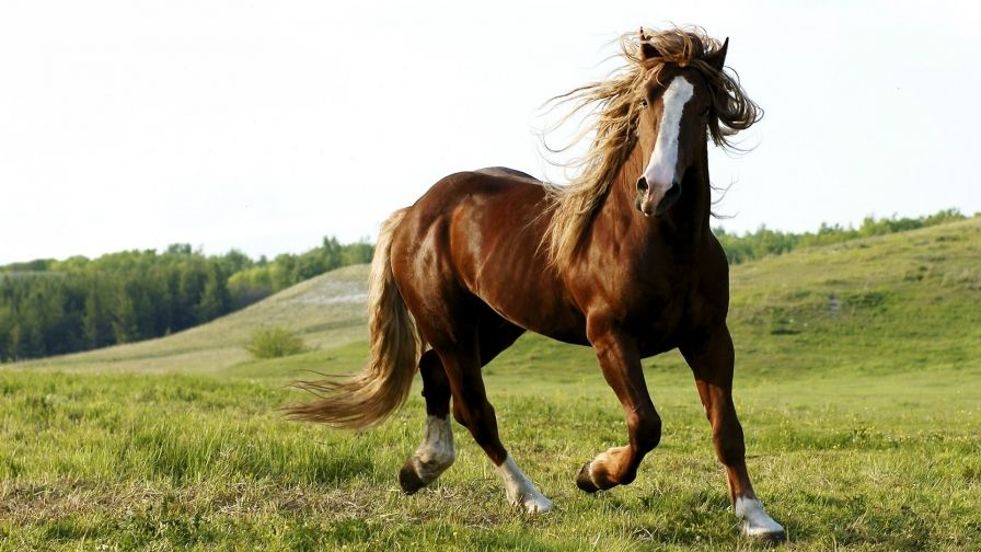 Beauty gray horse hd wallpaper download hd wallpapers desktop horse beauty gray horse hd wallpaper download altavistaventures Image collections