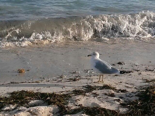 Seagull, Sombrero Beach Fl