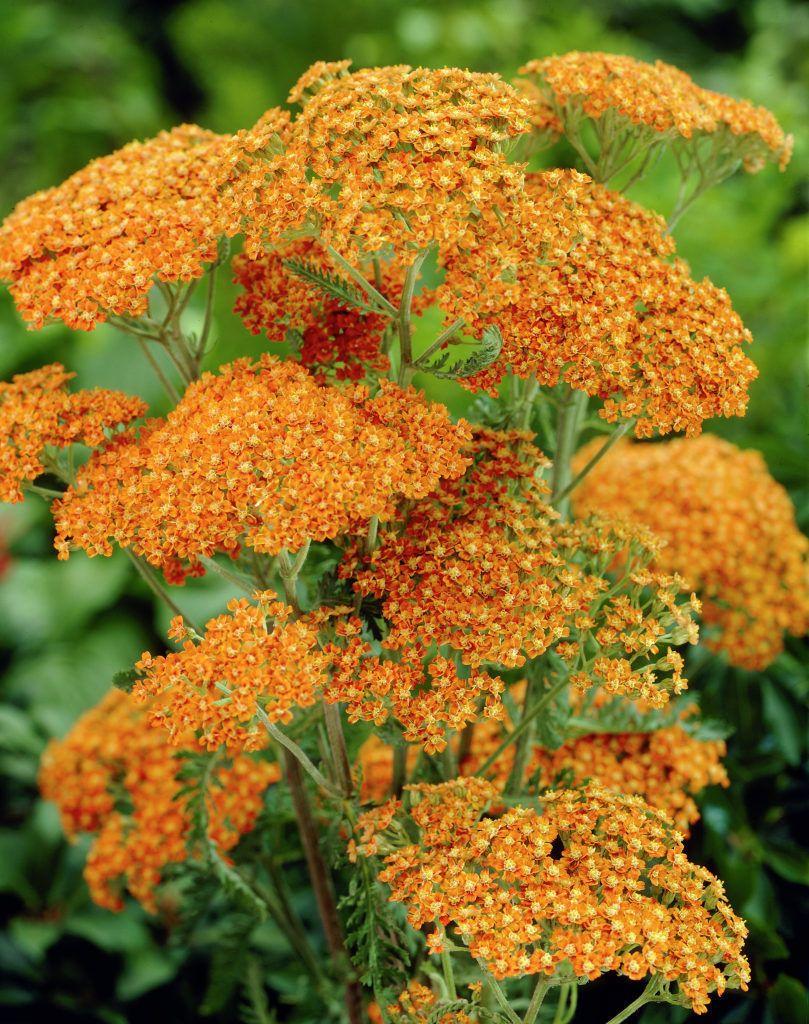 Pin By Melpo Siouti On Terracotta Cottage In 2020 Plants Orange Plant Achillea