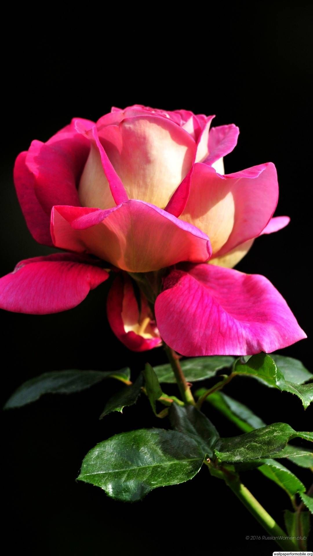http://wallpaperformobile/17766/beautiful-roses-wallpapers-free