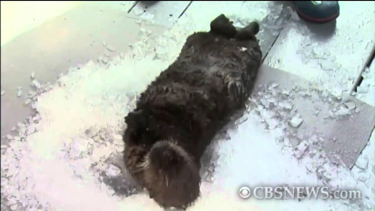 Calif. Sea Otter Pup Otter pup, Sea otter, Pup